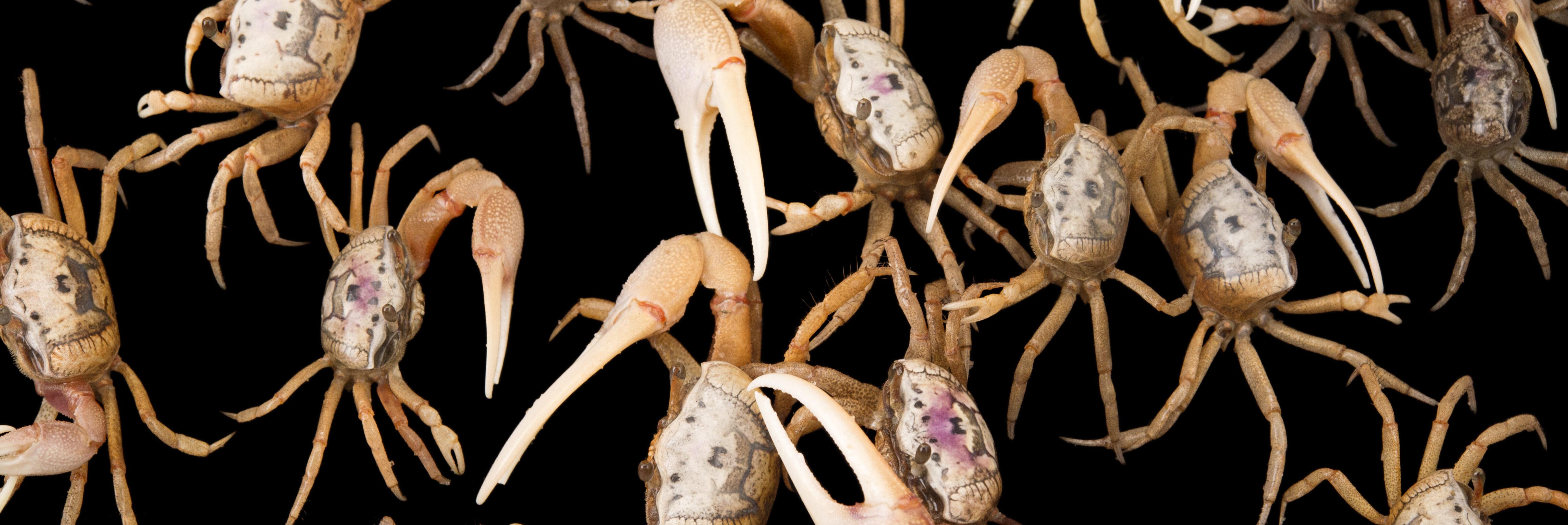 True Crabs Gulf Specimen Marine Lab