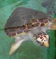 Loggerhead sea turtle at gulf specimen marine aquarium