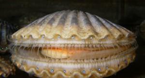 bay scallop