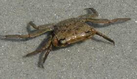 black marsh crab