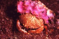 dromid crab
