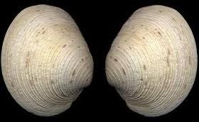 qualhog clam