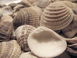 venus clam